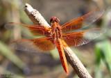 Flame Skimmer Libellula saturata