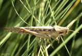 Gray Bird Grasshopper Schistocerca nitens