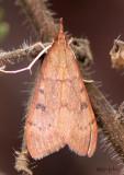 Genista Broom Moth Uresiphita reversalis #4992