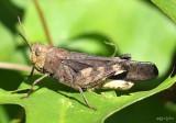 Sulfur-winged Grasshopper Arphia sulphurea