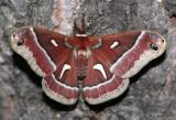 Ceanothus Silkmoth Hyalophora euryalus #7770