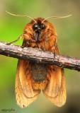 Large Ruby Tiger Moth Phragmatobia assimilans #8158