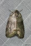 Cadbury's Lichen Moth Comachara cadburyi #8104