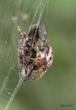 Furrow Orbweaver Larinioides cornutus