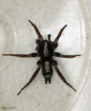 Eastern Parson Spider Herpyllus ecclesiasticus