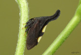 Two-marked Treehopper Enchenopa binotata