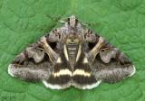 Figure-seven Moth Drasteria grandirena #8641