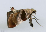 Dimorphic Tosale Moth Tosale oviplagalis #5556