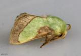 Smaller Parasa Moth Parasa chloris #4698