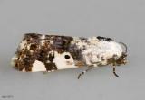Exposed Bird-dropping Moth Tarache aprica #9136
