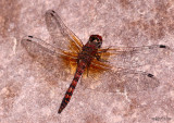 Red Rock Skimmer Paltothemis lineatipes