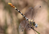 White-belted Ringtail Erpetogomphus compositus
