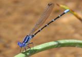 Blue-ringed Dancer Argia sedula