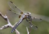 Bleached Skimmer Libellula composita