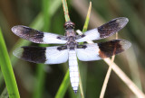 Desert Whitetail Plathemis subornata
