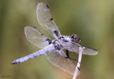 Hoary Skimmer Libellula nodisticta