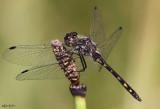 Black Meadowhawk Sympetrum danae