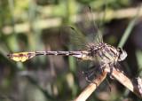 Plains Clubtail Gomphurus externus