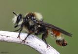 Robber Fly Laphria fernaldi