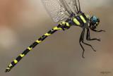 cordulegastridae : spiketails