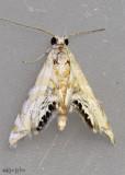 Petrophila kearfottalis #4773