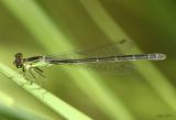 Black-fronted Forktail Ischnura denticollis
