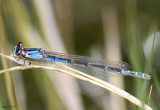 River Bluet Enallagma anna