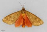 Tawny Holomelina Moth Virbia opella #8118