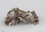 Alfalfa Looper Moth Autographa californica #8914