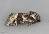 Olive Arches Moth Lacinipolia olivacea #10406