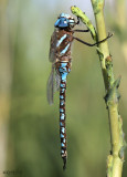 Blue-eyed Darner Aeshna multicolor