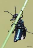 Blister Beetle Meloidae