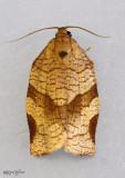 Oblique-banded Leafroller Moth Choristoneura rosaceana #3635