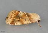 American Dun-bar Moth Cosmia calami #9815