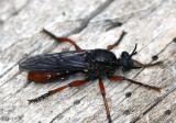 Robber Fly Laphria felis