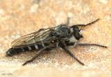 Robber Fly Cyrtpogon