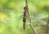 Spot-winged Glider Pantala hymenaea