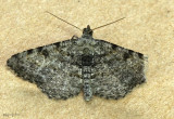 Hollow-spotted Angle Moth Digrammia gnophosaria #6405