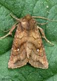 Signate Quaker Moth Tricholita signata #10627