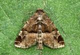 Niphonyx segregata #9558.1