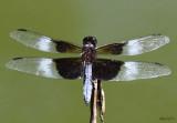 Widow Skimmer Libellula luctuosa