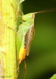 Short-winged Meadow Katydid Conocephalus brevipennis