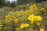 Tickseed sunflower Bidens polylepis