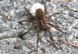 Wolf Spider Gladicosa gulosa