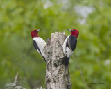 pic à tete rouge - red headed woodpecker