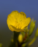onagre - Common evening primrose