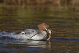 grand harle - common merganser