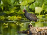 gallinule poule d eau - common moorhen
