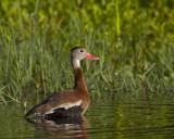 dendrocygne à ventre noir - black bellied whistling duck