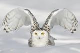 harfang - snowy owl